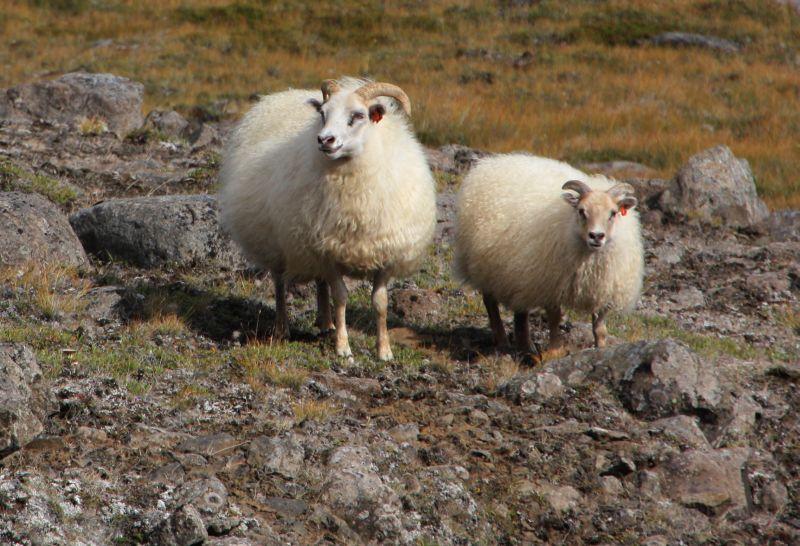 25-8 show schapen